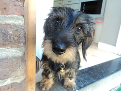 Lilas, chien Teckel