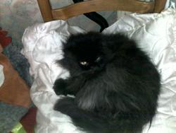 Lilas, chat Persan