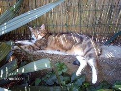 Lilas, chat Gouttière