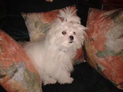 Lilas, chien Bichon maltais