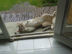 Lilas, chat Européen