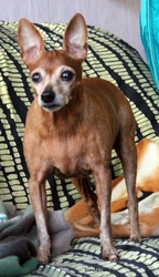 Lilas, chien Pinscher