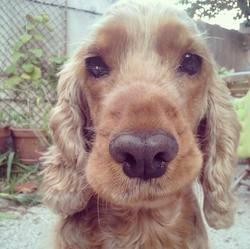 Lilas, chien Cocker anglais