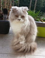 Lilas, chat Scottish Fold à poil long