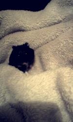 Ebène, rongeur Hamster