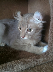 Lilas, chat American Curl