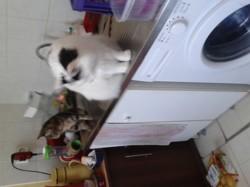 Lilas, chaton Européen
