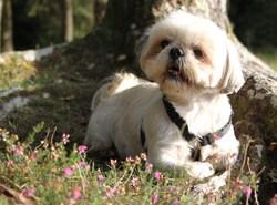 Lili, chien Shih Tzu