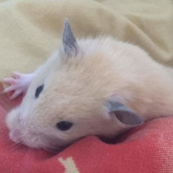 Lili, rongeur Hamster