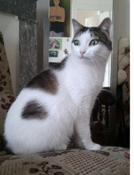 Lili, chat Siamois