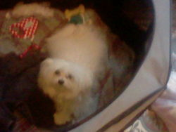 Lili, chien Bichon maltais