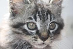 Lily, chat Européen