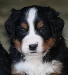 Lili, chien Berger australien