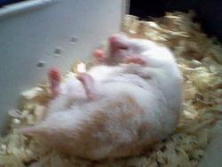 Lili Au Paradis, rongeur Hamster