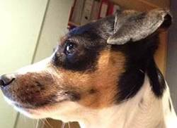 Lili, chien Jack Russell Terrier