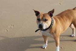 Lili, chien American Staffordshire Terrier