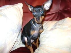 Lili, chien Pinscher
