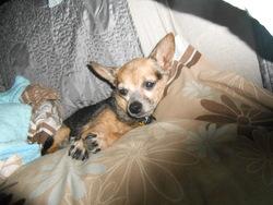 Lili, chien Chihuahua
