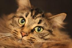 Lili, chat Angora turc
