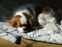 Lili, chien Cavalier King Charles Spaniel