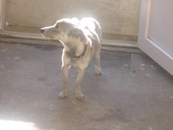 Lili, chien Teckel