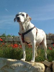 Lili, chien Dalmatien