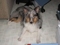Lili, chien Berger des Shetland