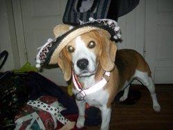 Lili, chien Beagle