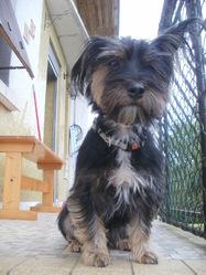 Lili, chien Yorkshire Terrier