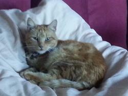 Lili, chat Européen