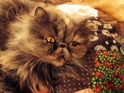 Lili, chat Persan