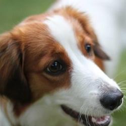 Lili, chien Petit chien hollandais de chasse au gibier d'eau