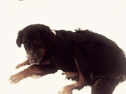 Lili, chien Bouvier bernois