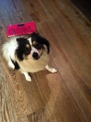 Lili, chien Spitz japonais