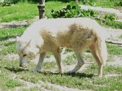 Lili, chien Chien-loup tchèque