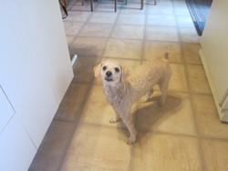 Lili, chien Caniche