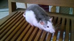 Lili, rongeur Rat