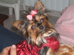 Lili Du Paradis, chien Yorkshire Terrier