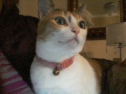 Lili, chat Oriental