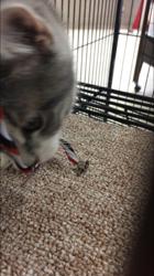 Lili, chat American Bobtail