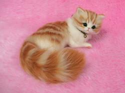 Lili, chaton Sibérien