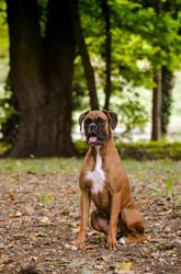 Lili, chien Boxer