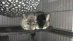 Lili, rongeur Chinchilla
