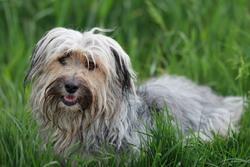 Lili, chien Berger des Pyrénées
