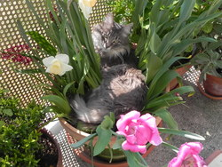 Lili Rose, chat Maine Coon