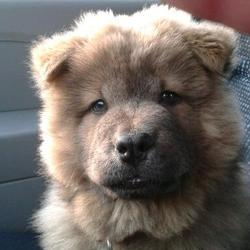 Lili Show, chien Chow-Chow