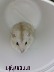 Lilibelle, rongeur Hamster