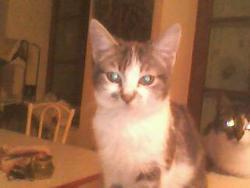 Lilie, chat Gouttière