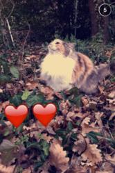 Lilie, chat Européen