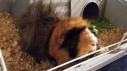 Lilie, rongeur Cochon d'Inde